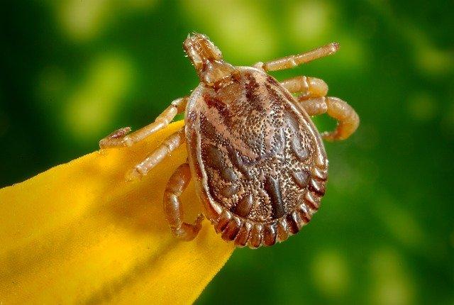Infekcia snázvom lymská borelióza